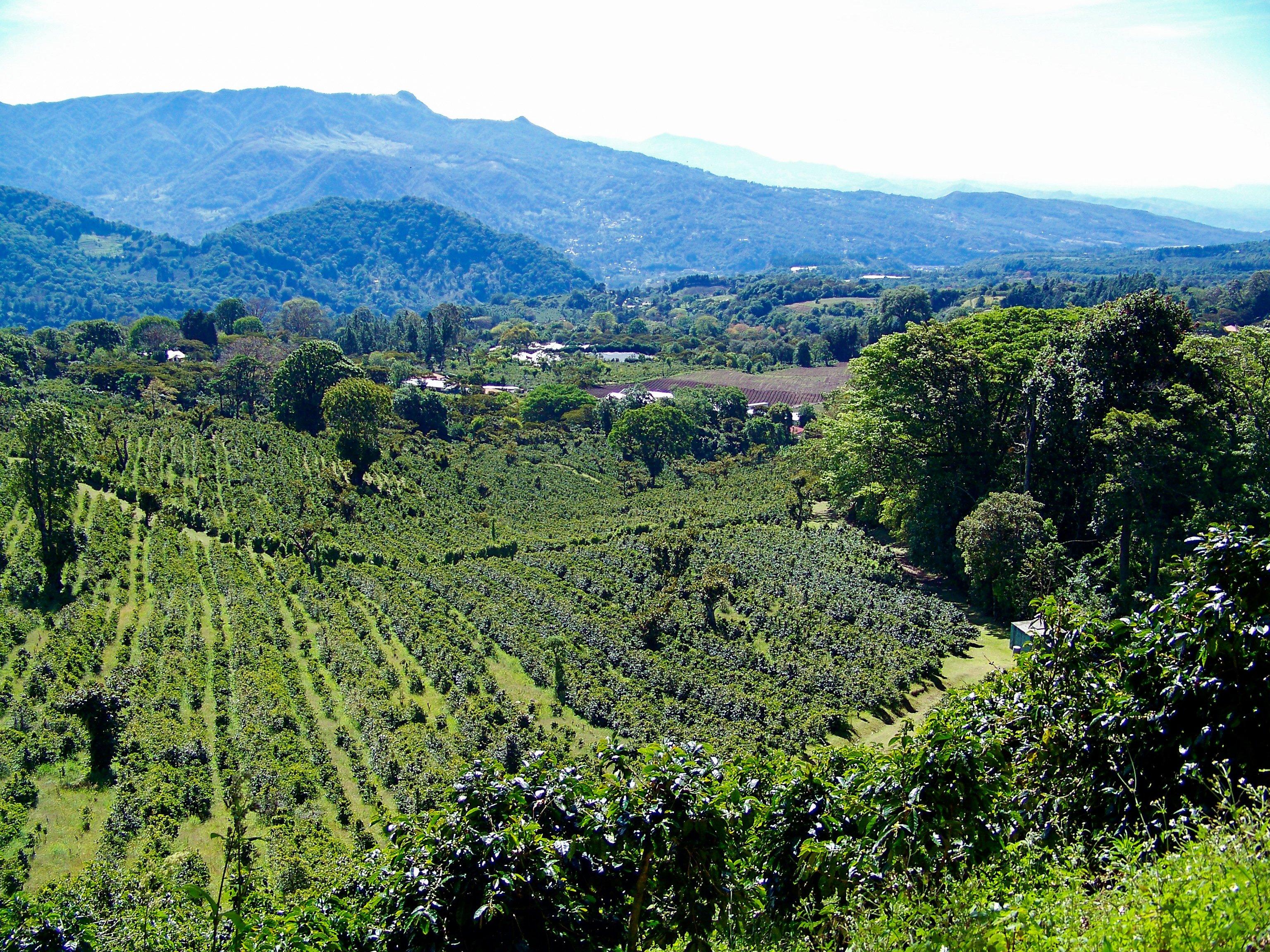 coffee-plantation-in-panama-CE8MFS6-1